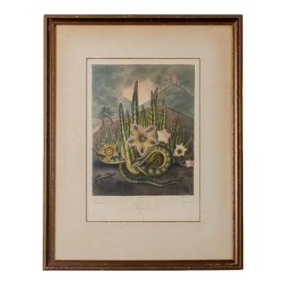 The Hirsute Stapelia, Robert John Thornton, 1807 For Sale