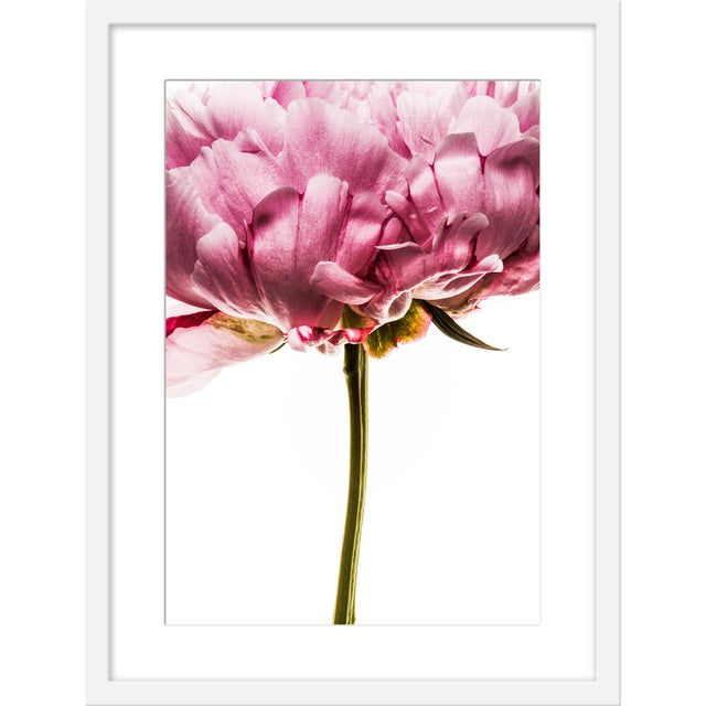 """Contemporary Medium """"Peony in Bloom I"""" Print by David Knight, 19"""" X 25"""" For Sale - Image 3 of 3"""