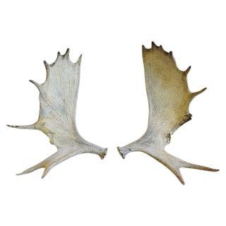 Jumbo Large Naturally-Shed Moose Antlers - Pair