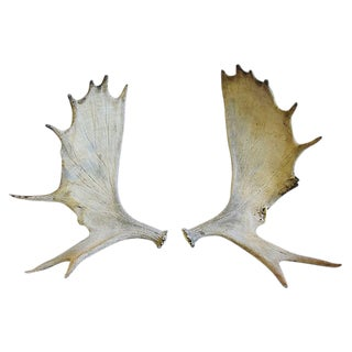 Large Naturally-Shed Moose Antlers, Pair
