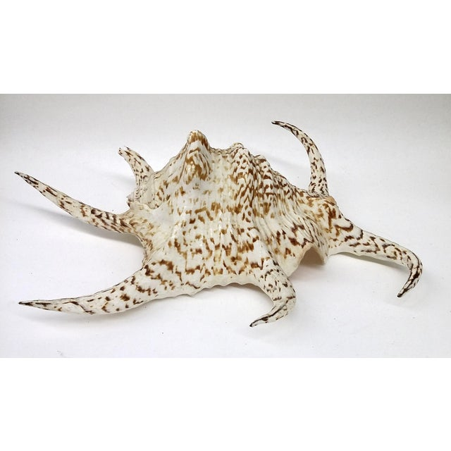 Spider Conch Shell - Image 2 of 9