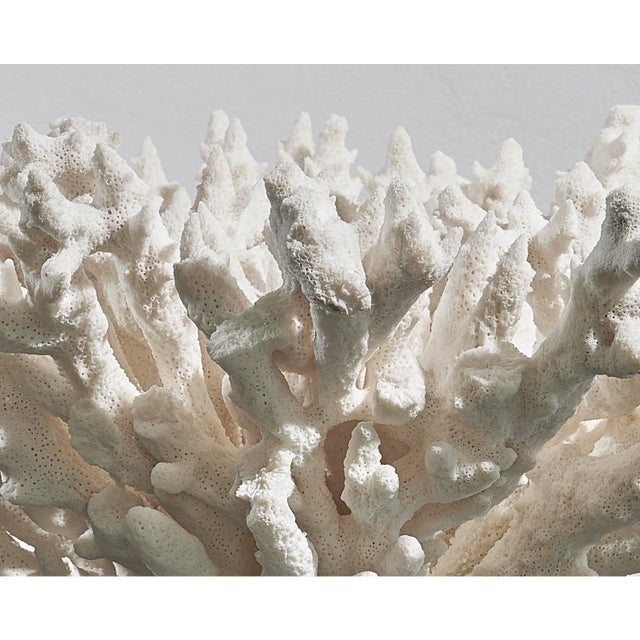 White Coral on Black Lacquered Wood Base For Sale - Image 6 of 7