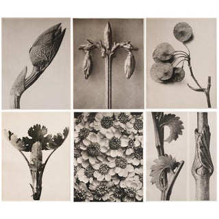 1928 K. Blossfeldt Photogravures - Set of 6