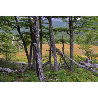 Subantarctic Patagonia Lenga Forest Color Photograph Mounted For Sale