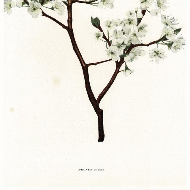 1900 - 1909 1900s Original Cherry Blossom Photogravures by Hedrick - a Pair For Sale - Image 5 of 11