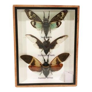 Framed Beetle Specimen