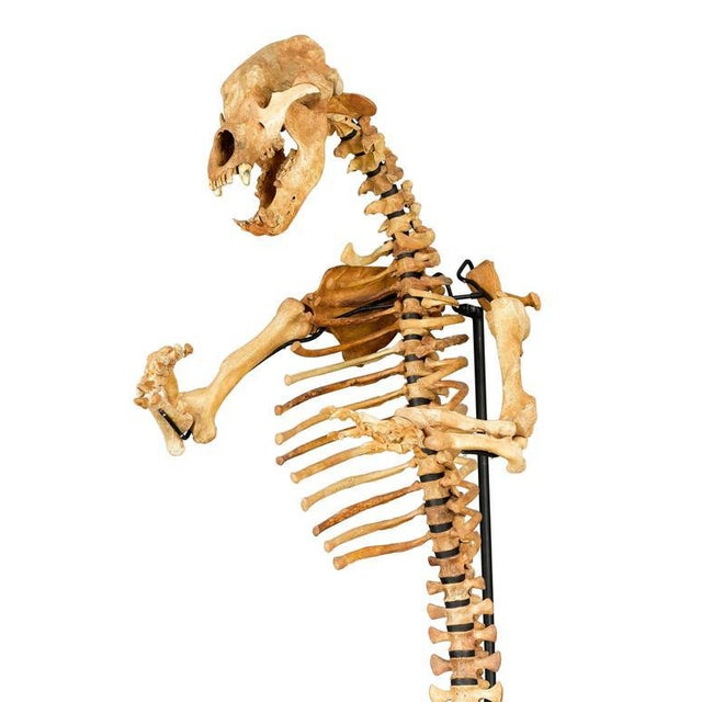 Children's Rare Ice Age Cave Bear Skeleton For Sale - Image 3 of 7