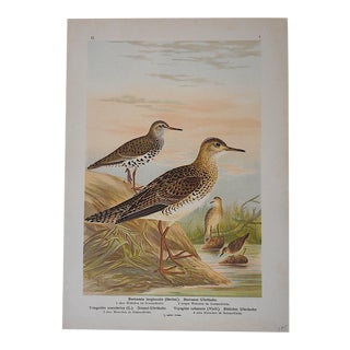 Antique Bird Lithograph - Water & Shore Birds For Sale