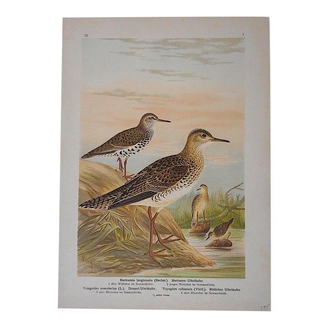 Antique Bird Lithograph - Water & Shore Birds For Sale