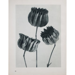 Karl Blossfeldt Photogravure N88-87, 1935