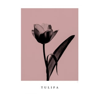 Tulipa Poster For Sale