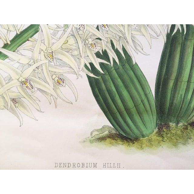 """""""Dendrobium Hillii"""" Orchid Antique Botanical Print - Image 4 of 5"""