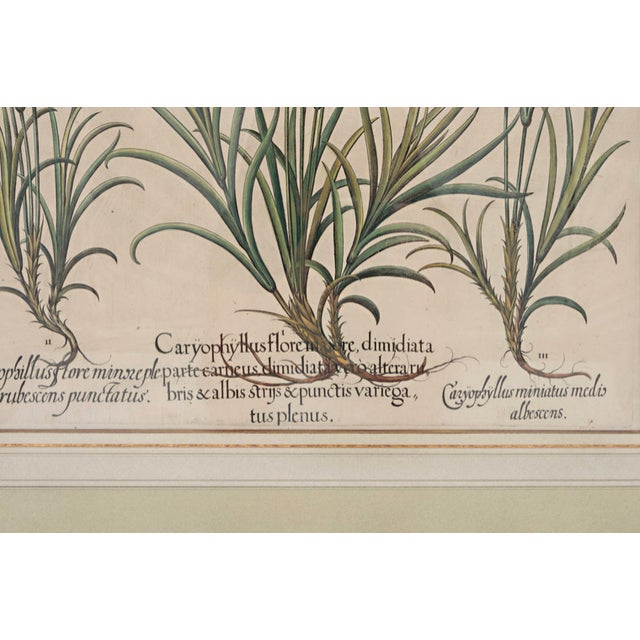 "Basil Besler ""Caryophyllus Flore"" Botanical Print For Sale In Nashville - Image 6 of 7"