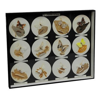 School Teaching Display Butterflies and Moths and Their Caterpillars For Sale