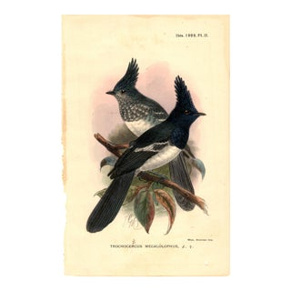 """Trochocercus Megalolophus "", Limited Edition Bird Lithograph Originally Hand-Colored and Pencil Signed by J. G. Keulemans Del. Et Lith. 1908 For Sale"