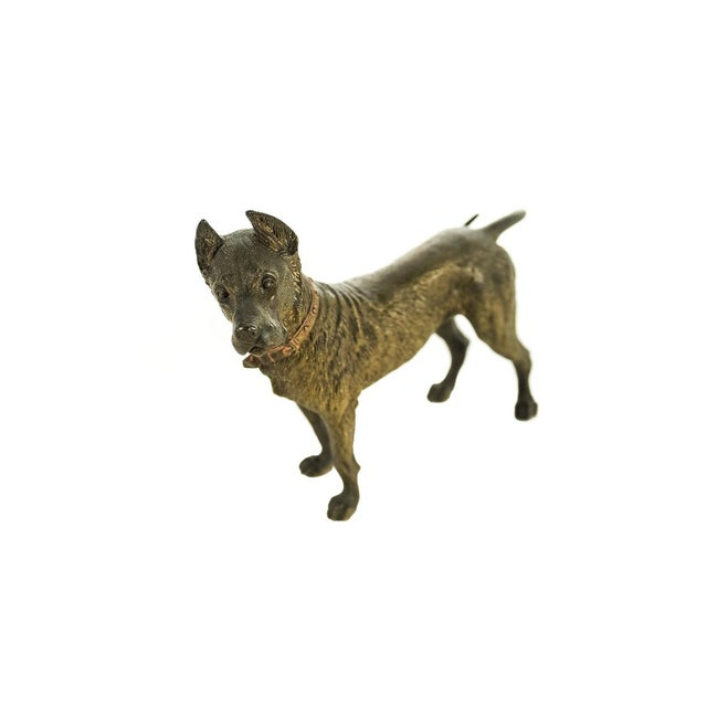 "Pit Bull - Original Turn of the century 6"" Vienna Bronze sculpture - Signed. A beautiful piece that will add to your..."
