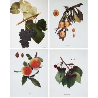 Large Antique Fruits Photogravures Prints by Hedrick- Set of 4