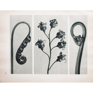 1935 Karl Blossfeldt Photogravure N32-31 For Sale