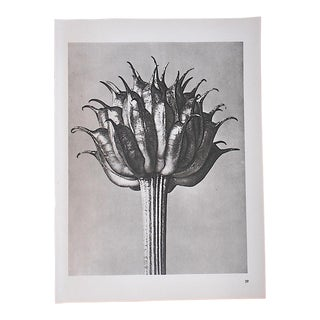 Vintage Modernist Botanical Photogravures By Karl Blossfeldt-Extreme Close-Ups Of Flora c.1942-Folio Size For Sale