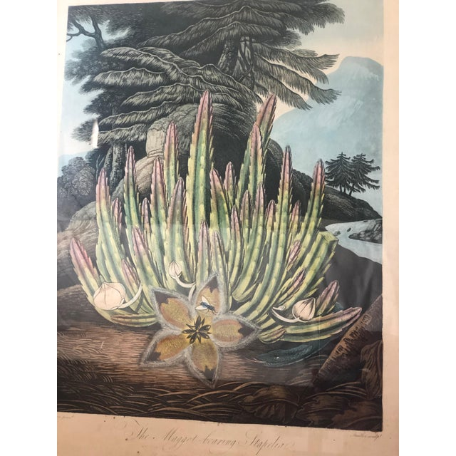 """What is this? It's a early 19th century botanical print of a """"Maggot-bearing Stapelia."""" Published July 1, 1801 by Dr...."""