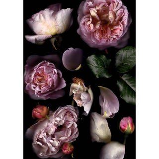 Rosa Abraham Darby - Floral Photograph by Francesca Wilkinson For Sale