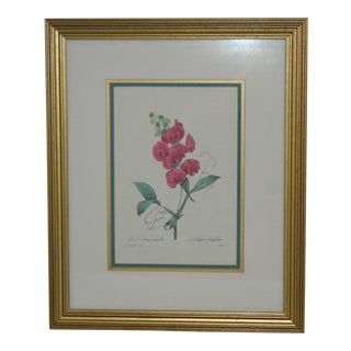 Vintage Pierre Redute French Botanical Print: Gesse a Larges Feuilles For Sale