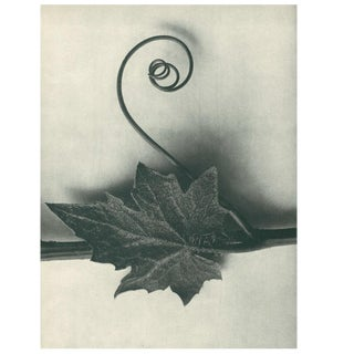 1928 Contemporary Original Photogravure by Karl Blossfeldt - N49 For Sale