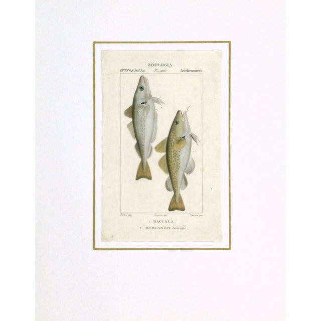 Freshwater Fish Engraving Print, C. 1830 For Sale - Image 4 of 5