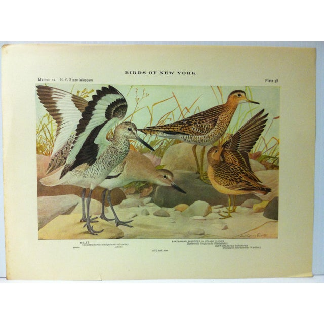 """This is a Real Nice Antique The State of New York Museum Birds of New York Print on Paper that is titled """"Willet -..."""