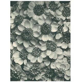 1928 Karl Blossfeldt Original Period Photogravure N119 of Achillea Clypeolata Preview