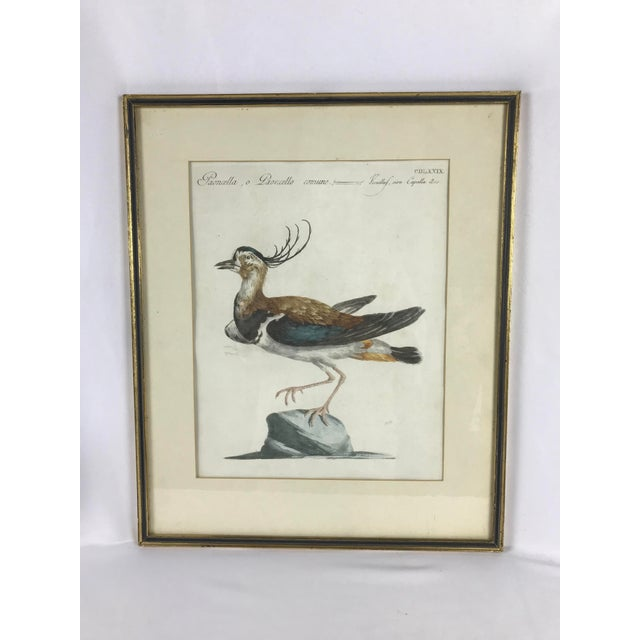 Late 18th Century Late 18th Century Northern Lapwing Bird Print Hand Colored Engraving by Saverio Manetti For Sale - Image 5 of 5