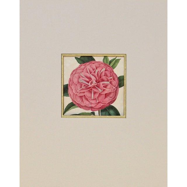 Verschaffelt 1854 Humboldt Camellia Print For Sale