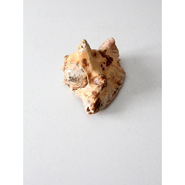 Shell Vintage Natural Conch Shell For Sale - Image 7 of 7