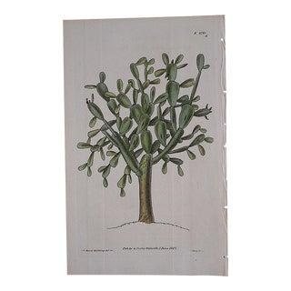 Antique Botanical Engraving-Jade plant For Sale