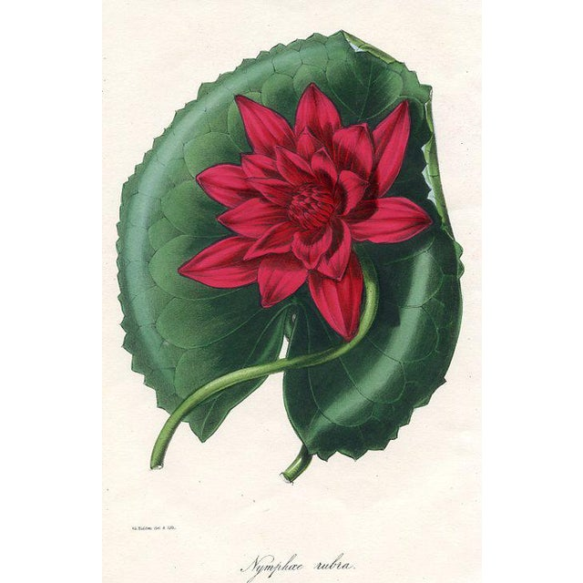 Red-Flowered Water Lily, 1844 Botanical Print For Sale