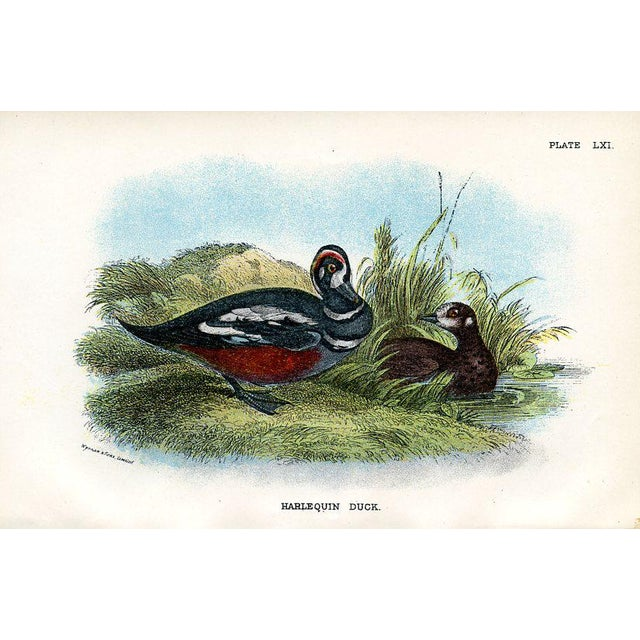 Pair of original lithograph Duck prints from an 1890s British natural history folio. Shown are the Harlequin Duck and...
