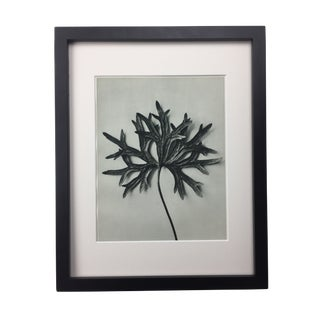 Framed Antique Photogravure Blossfeldt Botanical Print - No. 31 For Sale