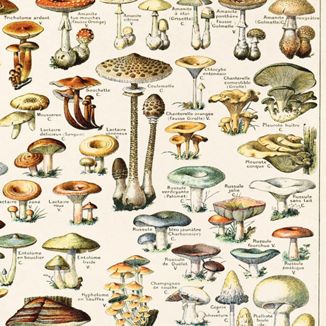Adolphe Millot Illustrated Mushrooms Canvas Poster - Image 3 of 3