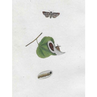 Antique 19th Century Entomology Hand Colored Print For Sale