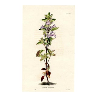 Garden Thyme, 1820s Hand-Colored Botanical Print For Sale