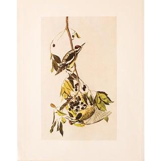 Yellow-Bellied Sapsucker by John James Audubon, Vintage Print For Sale