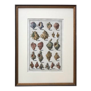 Antique Italian Engraving Sea Shells by Niccolo Guiltier 1742 For Sale