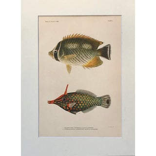 Antique Lithograph of Hawaiian Fish Preview