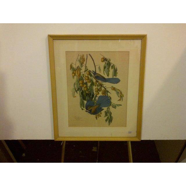 "Vintage copy of an original engraving titled ""Florida Jay"". Original dated 1830. Copy dated 1930. The original engraving..."