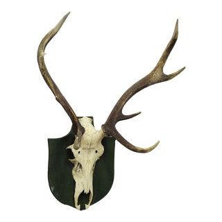 Antique Black Forest Deer Trophy From Salem - Germany 1931 For Sale