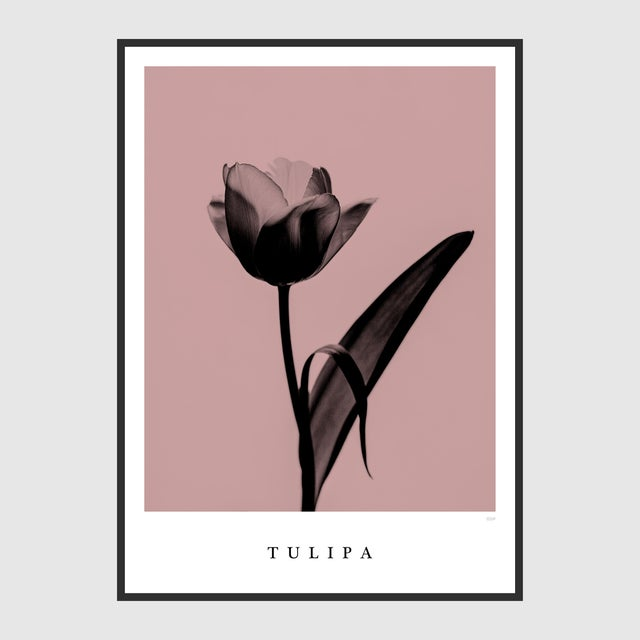 Tulipa Poster For Sale - Image 4 of 5