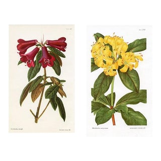 Vintage Rhododendron Prints by Margaret Stones, a Pair For Sale