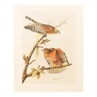 1966 Red-Shouldered Hawk by John James Audubon, Vintage Print For Sale