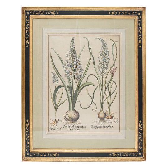 "Paint Basil Besler ""Ornithogalum Spicatum"" Botanical Print For Sale - Image 7 of 7"