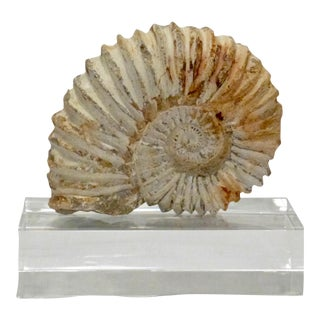 Authentic Jurassic Ammonite Fossil Shell For Sale